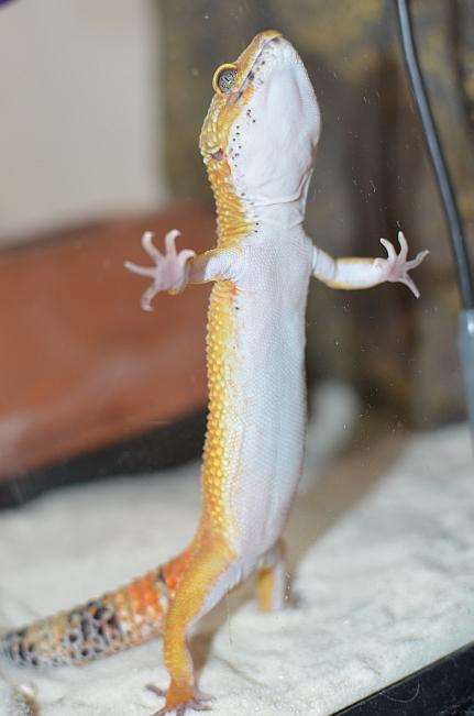 Leopardgecko-2.jpg