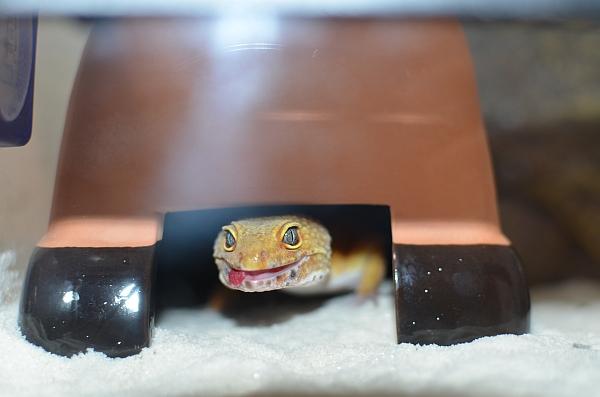 Leopardgecko-5.jpg