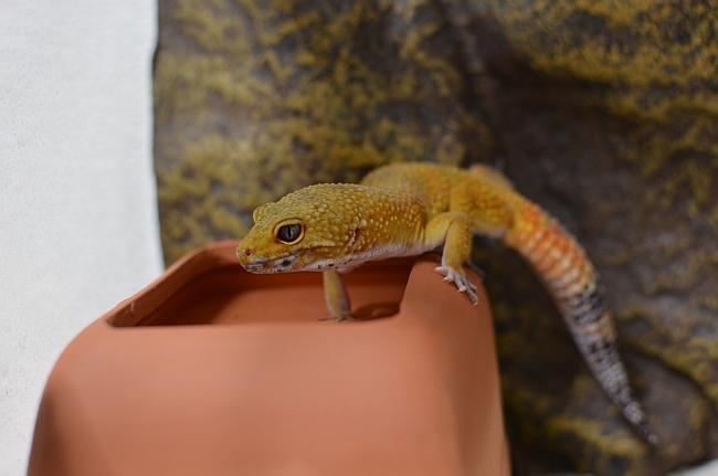 Leopardgecko-6.jpg