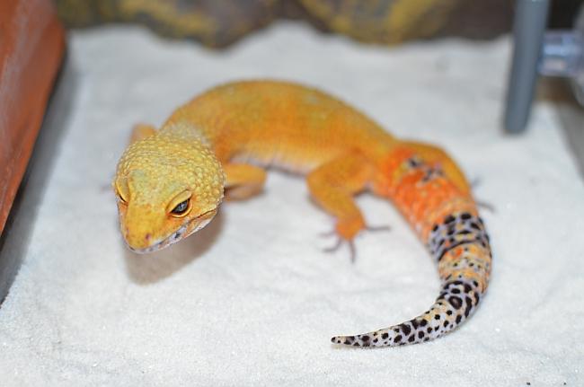 leopardgecko110730-2.jpg