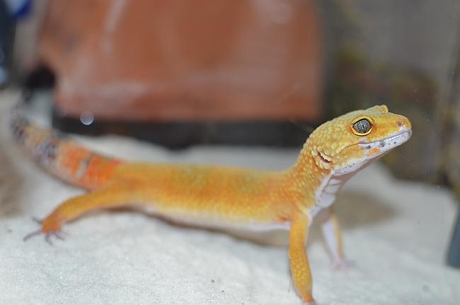 leopardgecko110730-3.jpg
