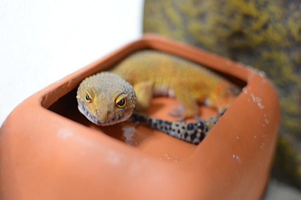 leopardgecko110910.jpg