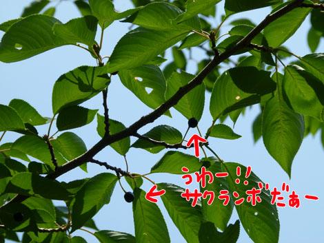 sakuranbo8.jpg