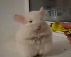 Little chinchilla walking on two legs