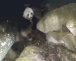 A Panda Eats Meat
