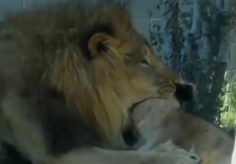 Lion Kills Lioness in Front of Visitors Dallas Zoo