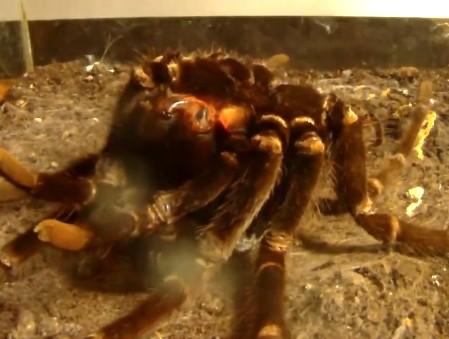 Tarantula shedding skin