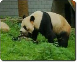 panda_20110505194802.jpg