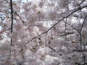 お花見2012-01