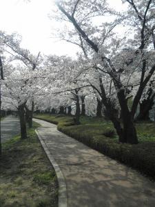 お花見2012-12