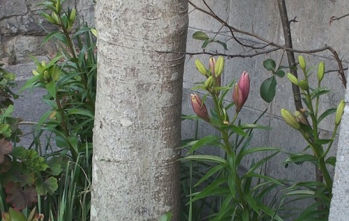 ユリの花のつぼみ