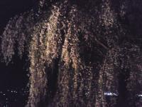 大久保のしだれ桜ライトアップ(24.4.26)