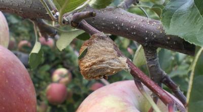 カマキリの巣(24.10.26)