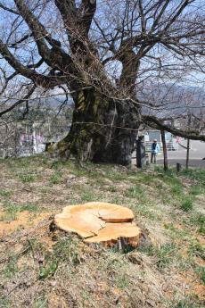 千歳桜北側の子の桜伐採(23.4)
