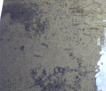 側溝の小魚(24.10.14)