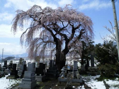 白山のしだれ桜