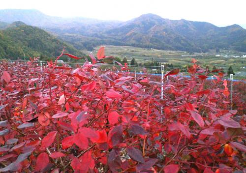 ブルーベリー畑の紅葉(24.10.30)