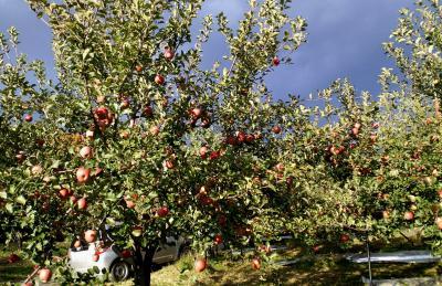 リンゴ畑と空(24.11.1)