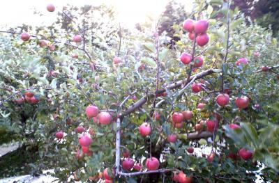 寒い風の吹くリンゴ畑(24.11.2)