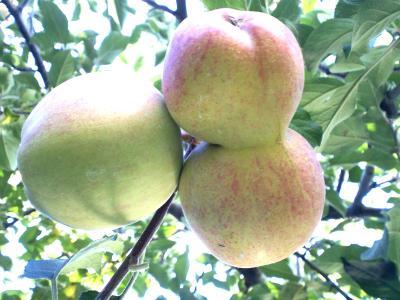 双子リンゴ(24.11.3)