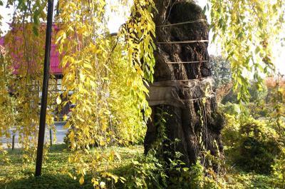 隆谷寺のしだれ桜(樹齢400年)(24.11.10)