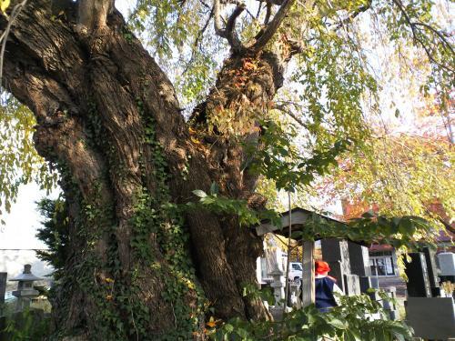宇木区民会館前の白山のしだれ桜の幹(樹齢約350年)(24.11.10)