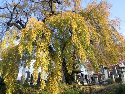宇木区民会館前の白山のしだれ桜全景(樹齢約350年)(24.11.10)