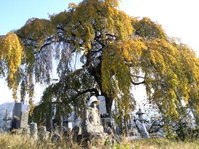 大久保のしだれ桜(樹齢約200年)(24.11.10)