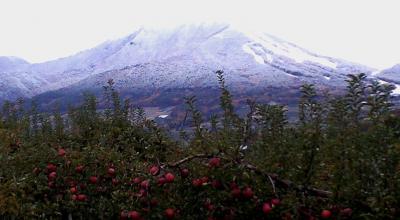 雪の高社山とリンゴ畑(24.11.15)