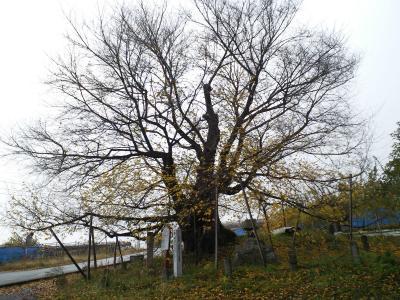 千歳桜の状況(24.11.18)
