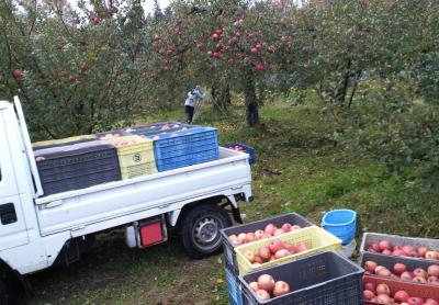 フジの収穫作業(24.11.18)