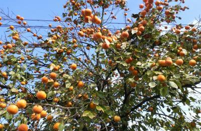 鈴なりの柿の木(24.11.24)
