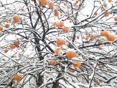 柿の木も雪化粧(24.12.1)