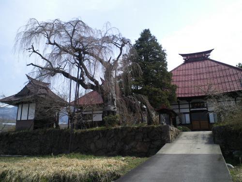 隆谷寺しだれ桜(24.4.17)