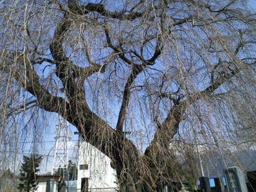 宇木区民会館前の白山のしだれ桜(24.4.18)