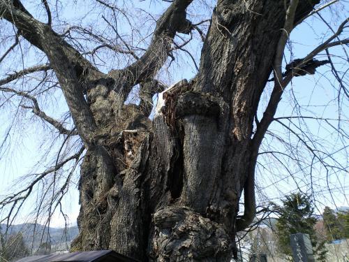 宇木区民会館前の白山のしだれ桜幹に空洞も(24.4.18)