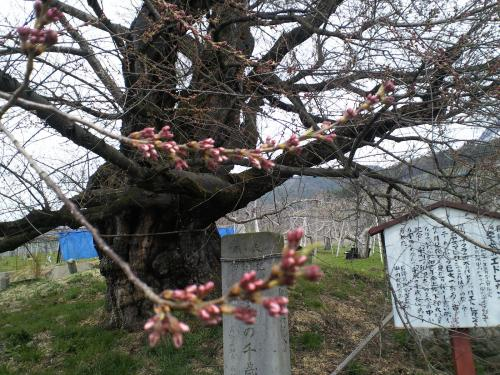 千歳桜(樹齢887年)の状況(24.4.20)