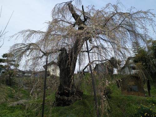 咲き始めた大日庵のしだれ桜(24.4.21)
