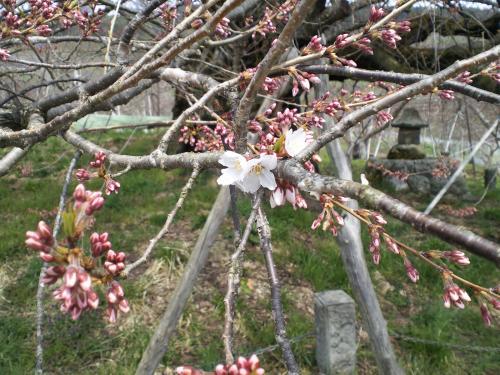 咲き始め?千歳桜(24.4.21)