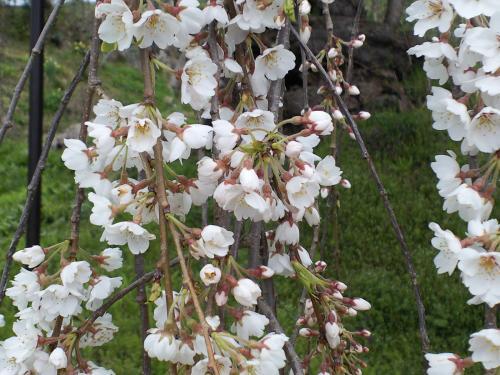 大日庵のしだれ桜の白い可憐な花びら(24.4.23)