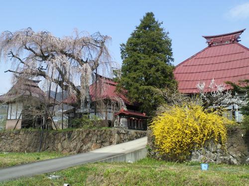 隆谷寺のしだれ桜(樹齢約400年)の状況(24.4.24)