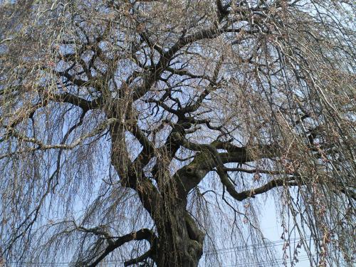 大久保のしだれ桜の状況(24.4.24)