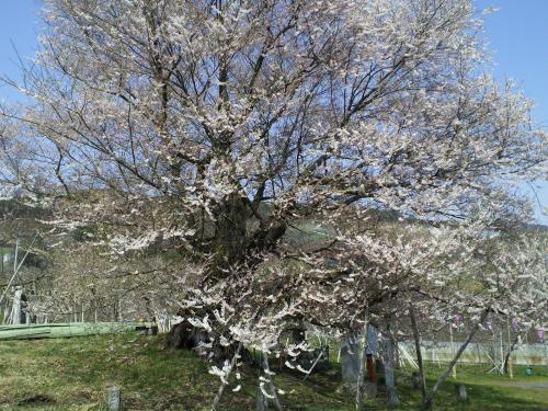 千歳桜(樹齢887年)の状況(24.4.24)
