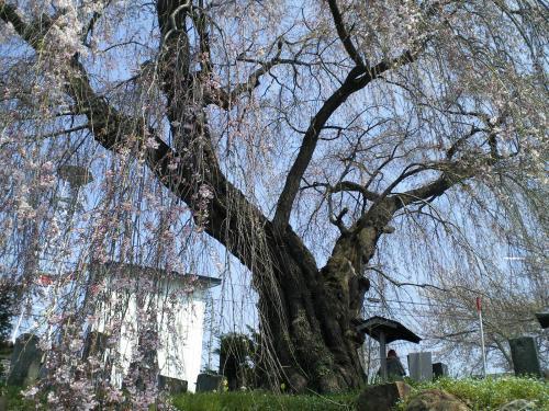 宇木区民会館前の白山のしだれ桜(24.4.24)
