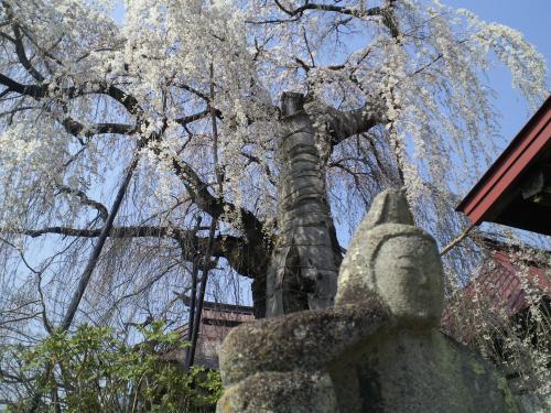 隆谷寺のしだれ桜(樹齢約400年)の状況(24.4.25)