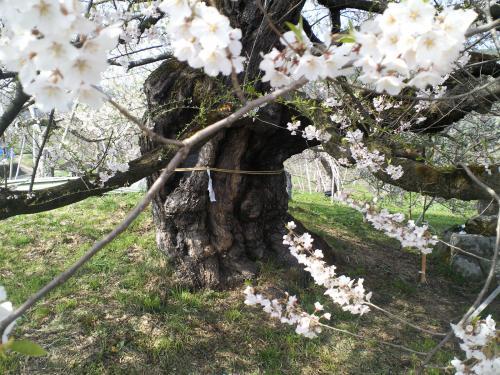 千歳桜(樹齢887年)の状況(24.4.25)