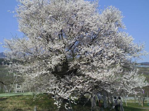 千歳桜はほぼ満開(24.4.25)