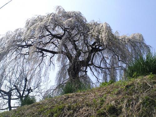 大久保のしだれ桜の状況(24.4.25)