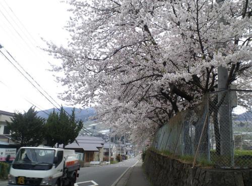 西小学校の桜トンネル(24.4.26)