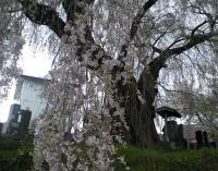 区民会館前の白山のしだれ桜1(24.4.26)
